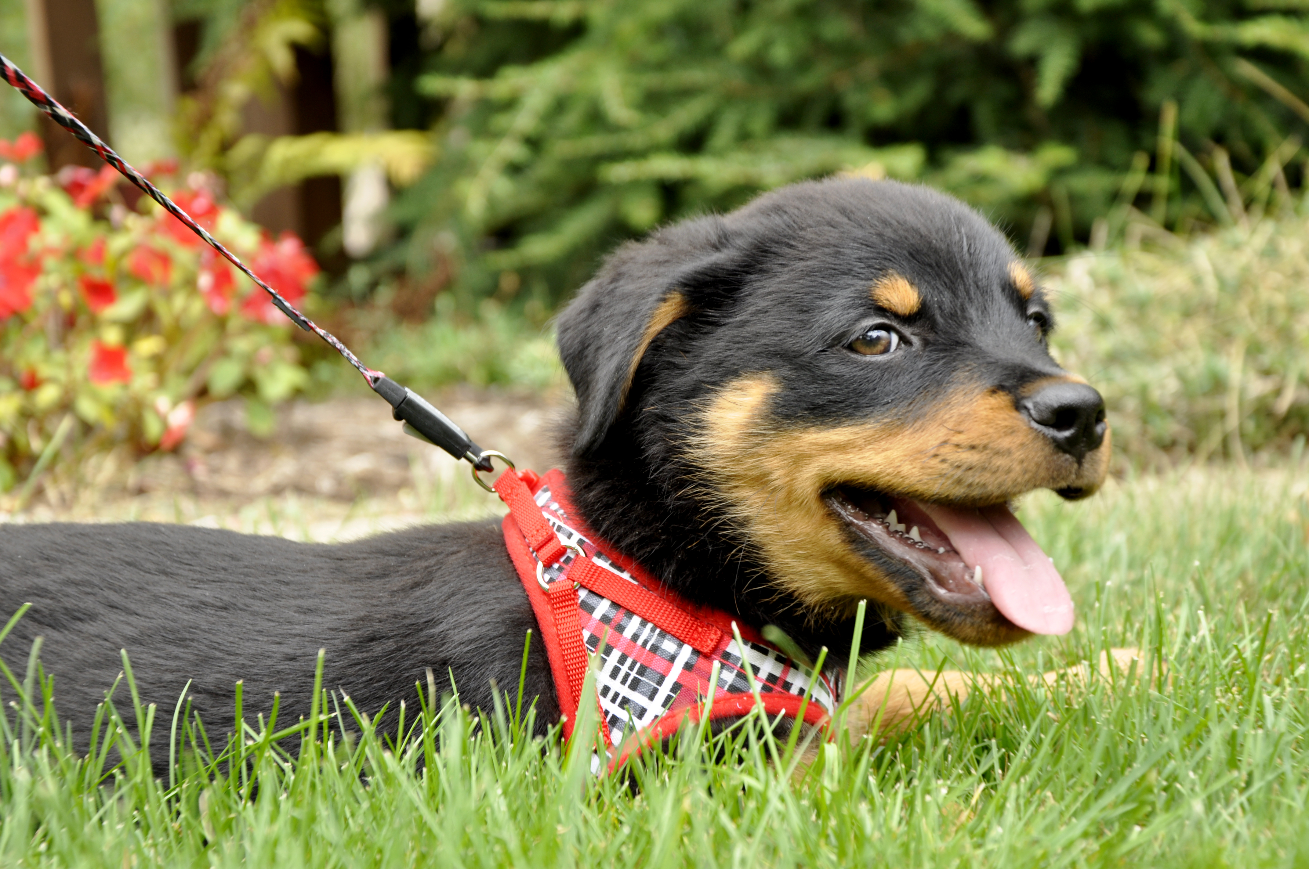 Red and Grey Plaid Canvas Harness 06249 RYP.jpg