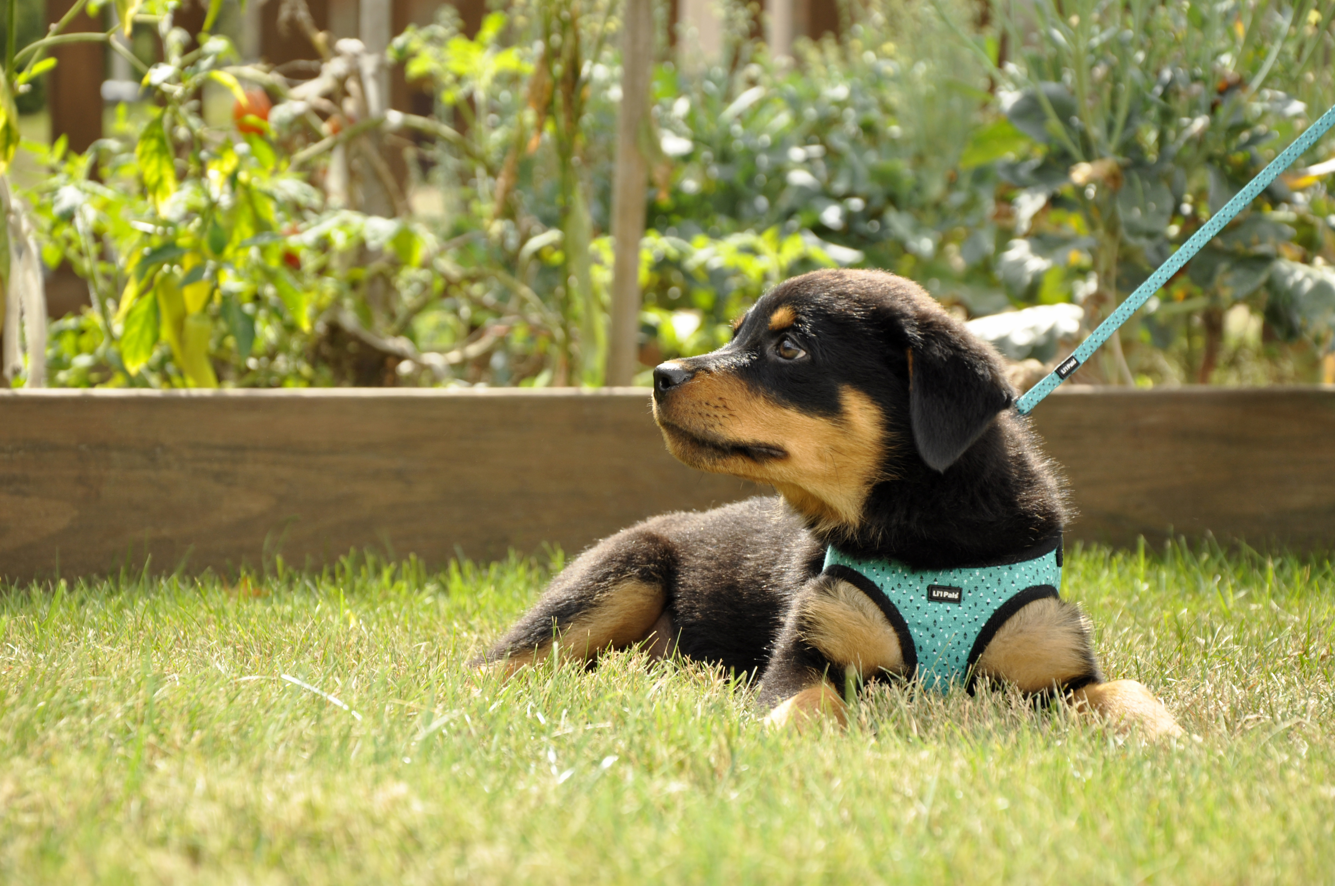 Teal and Grey Diamonds Canvas Harness 06249 TGD.jpg