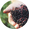 Black Elderberry in hand
