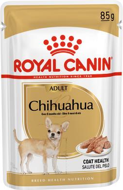 Chihuahua Adult